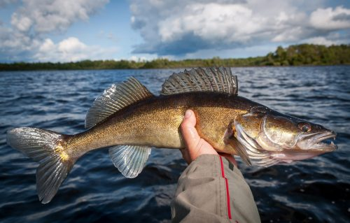Walleye at Kashabowie River Resort in Northwestern Ontario
